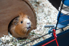 Portret of guinea pig in her wooden house Royalty Free Stock Photo