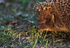 Portret of hedgehog Stock Image