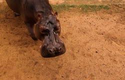 Portret hipopotam w Niamey przy Niger Obraz Stock
