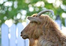 portret, hoofd van bruine ram van plattelandsgebied in natuurlijke omgeving stock foto's