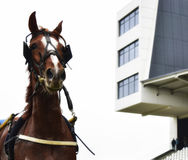 Portret of horse Royalty Free Stock Photo