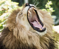 Portret huczenie lew Obrazy Stock