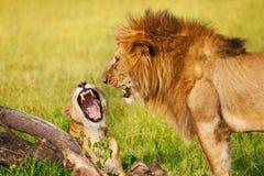 Portret huczenie lwica przy sawanną i lew Obraz Royalty Free