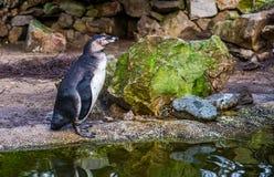 Portret Humboldt pingwinu pozycja przy wodną stroną, Nadwodny ptak od wybrzeże pacyfiku, Zagrażający zwierzęcy specie z a obraz stock