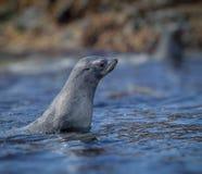 Portret i profil Atlantycka Futerkowa foka Obrazy Stock