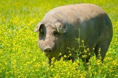 Portret Iberyjski świniowaty stado w kwiatu polu Zdjęcie Stock