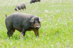 Portret Iberyjski świniowaty stado w kwiatu polu Obrazy Royalty Free