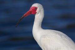 Portret ibis Obrazy Royalty Free