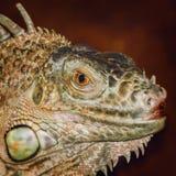 Portret iguana Obrazy Royalty Free