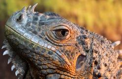 Portret iguany jaszczurka Zdjęcia Royalty Free