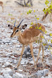 Portret Impala antylopa Obrazy Stock