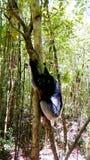 Portret Indri Indri lemur przy drzewem, Atsinanana region, Madagascar zdjęcie royalty free