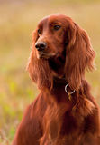 Portret irish setter, vertical. Closeup. Royalty Free Stock Image