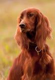 Portret irish setter, vertical. Closeup. Royalty Free Stock Image