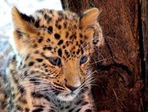 Portret Jaguar dziecko Zdjęcie Royalty Free
