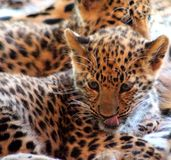 Portret Jaguar dziecko na ziemi Fotografia Stock