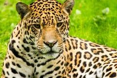 Portret jaguar Panthera onca Fotografia Stock