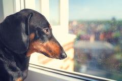 Portret jamnika pies, czarny i dębny w ulicę oczekuje powrót właściciel przychodzić h, z przykrością spojrzenia za okno zdjęcie stock