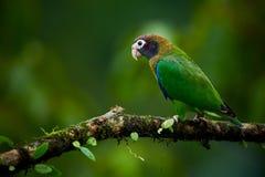 Portret jasnozielona papuga z brąz głową, Okapturzająca papuga, Pionopsitta haematotis zdjęcia stock