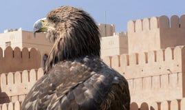 Portret jastrząbek przed acient kasztelem w Oman fotografia royalty free