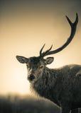 Portret Jeden poroże Czerwonego rogacza jeleń fotografia royalty free