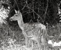 portret jeleni w b Zdjęcie Royalty Free