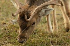 Portret jelenia łasowanie trawa zdjęcia royalty free