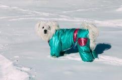 Portret jest ubranym zima żakiet na śniegu śliczny pies zdjęcia stock