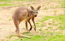 Kangur. Obraz Stock