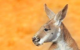 portret kangura Zdjęcia Stock
