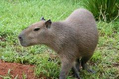 portret kapibara Zdjęcia Royalty Free