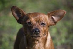 Portret Karłowaty Pinscher pies podczas gdy sunbathing zdjęcie stock