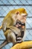 Portret Karmi jej dziecka matki małpa zdjęcia royalty free