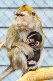 Portret Karmi jej dziecka matki małpa fotografia stock