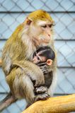 Portret Karmi jej dziecka matki małpa fotografia royalty free