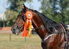 Portret koński kłusaka traken na nagradzać horseracing fotografia royalty free