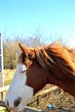 Portret koń Zdjęcie Royalty Free