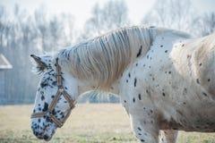Portret koń Obrazy Royalty Free