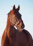 Portret koń Ukraiński sporta traken Fotografia Royalty Free