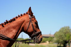 Portret koń wyścigowy Obrazy Royalty Free