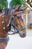 Portret koń z rzemienną nicielnicą Obraz Stock