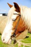 Portret koń Fotografia Royalty Free