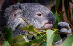 Portret koala Obrazy Stock