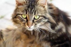 Portret koci Fotografia Royalty Free