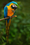 Portret kolor żółty ara, aronu ararauna, także znać jako złoto ara, jest wielkim południem - amerykańska papuga z błękitem Zdjęcie Royalty Free
