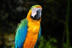Portret kolorowa Szkarłatna ary papuga przeciw dżungli tłu obrazy royalty free