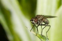 Portret komarnica na zieleni Fotografia Stock