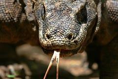 Portret Komodo Smok Zdjęcia Stock