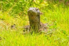 Portret Komodo smoka lying on the beach w trawie na Rinca wyspie w Komo Fotografia Stock
