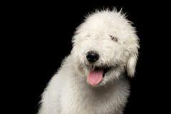 Portret Komondor pies Zdjęcie Royalty Free
